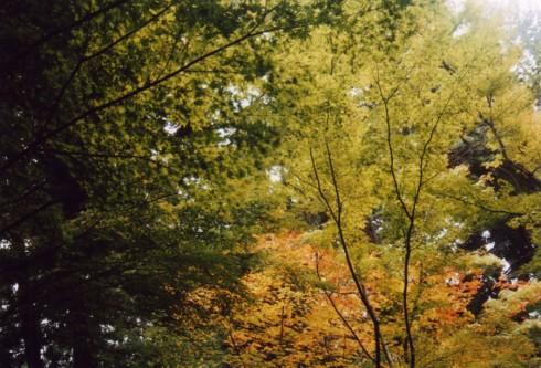 Koning onder de bomen de japanse esdoorn