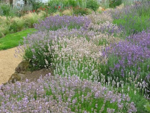 Lavendel combineren met siergrassen
