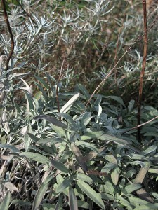 salie en kerrieplant
