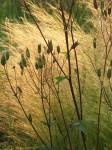 Aquilegia en Stipa tenuissima