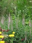 Veronica longifolia 'Pink Damask'