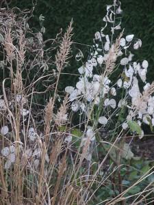 Lunaria_Calamagrostis