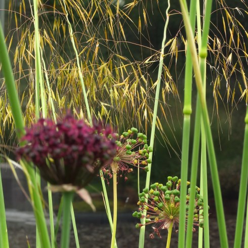 Stipa en Allium
