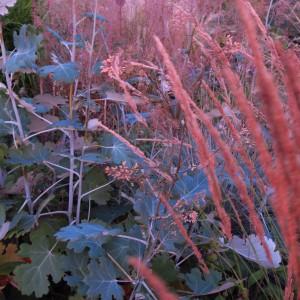 Macleaya&Calamagrostis