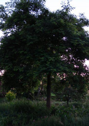 Sophora japonica snoei